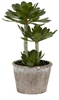 Echeveria Succulent, Large